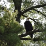 Cranberry Cove: Bald Eagle